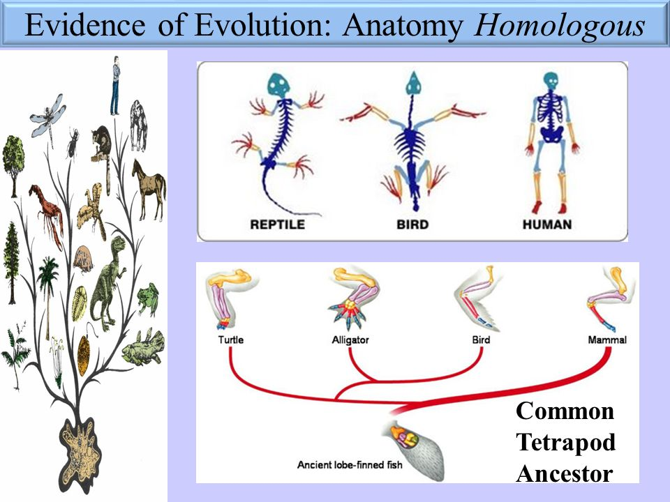 Learning Target Evidence Of Evolution I Can Describe Reasons That