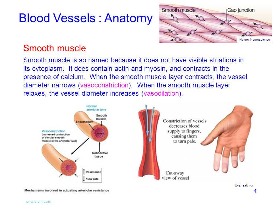 1 Topics To Be Addressed Blood Anatomy Of Blood Vessels Anatomy Of