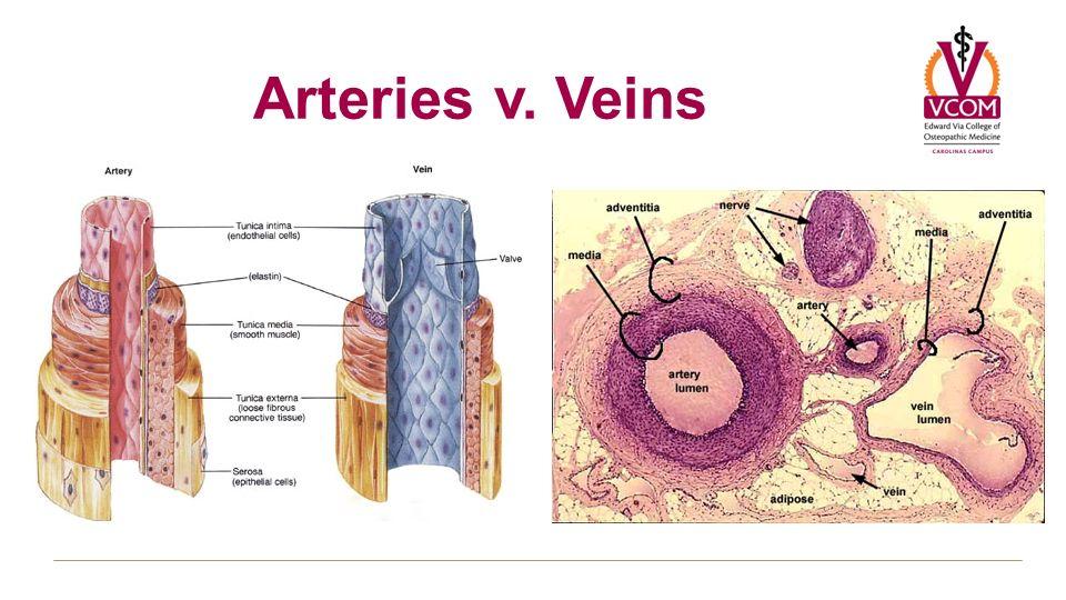 Vascular Functional Organization Arterial Resistance Venous