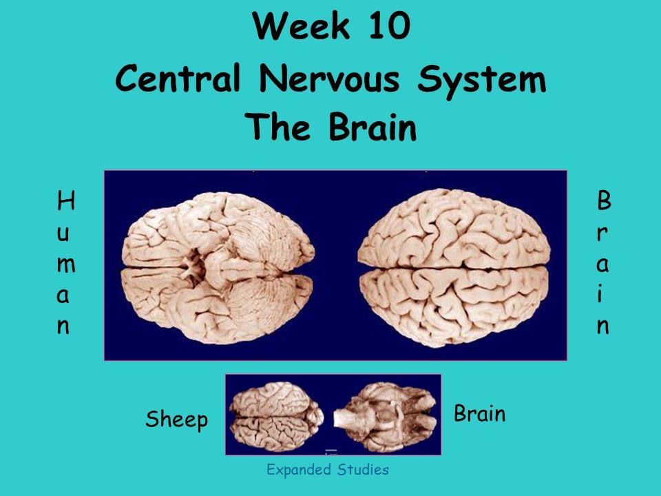 week 10 central nervous system the brain sheep humanhuman brainbrain rh slideplayer com Nervous System Model Nervous System Practice Test