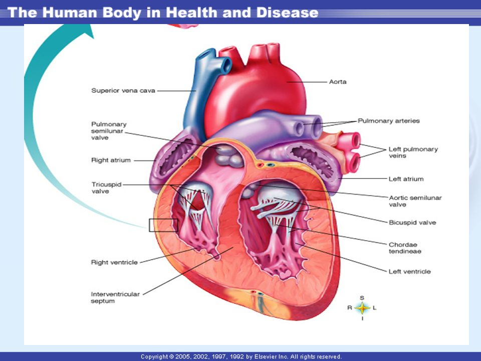 Chapter 13 The Heart. Location, Size, and Position of the Heart In ...