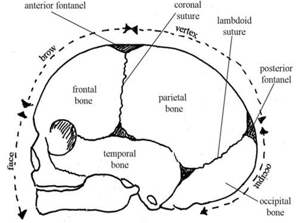 Star Nursing College Subject Obg Presentation On Fetal Skull