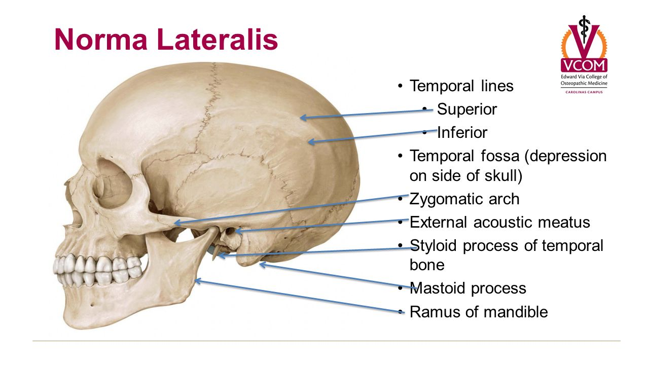 Lab Prelude Block 3 Anatomy Of Skull Skull Views Superior Norma