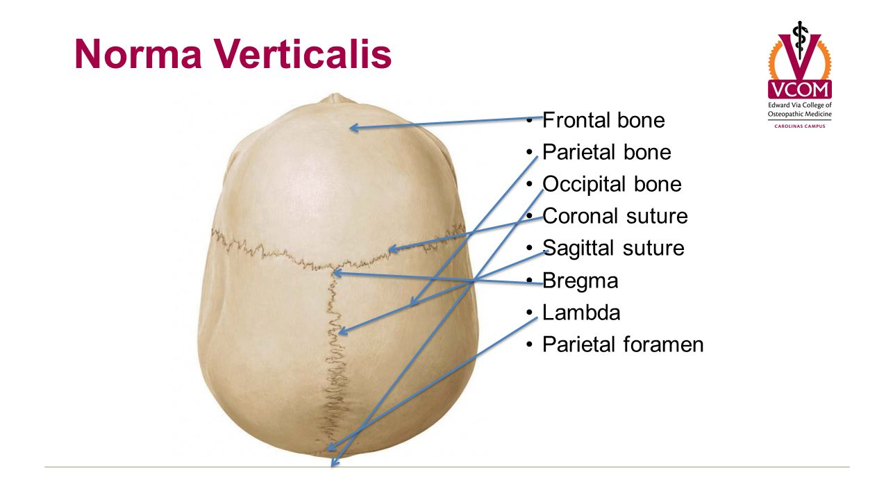 sagittal suture anatomy - 1276×720
