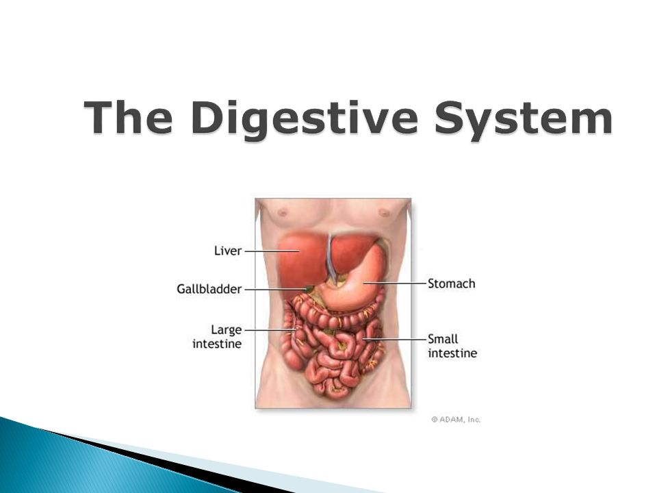 The Digestive System Process By Which Organisms Obtain And Utilize