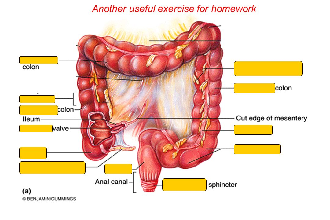 The Digestive System Ch 23 Objectives 2 Describe The Functional
