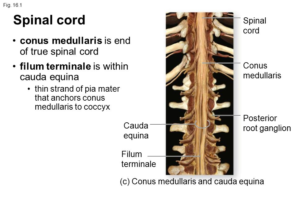 Chapter 16 Spinal Cord And Spinal Nerves Fig A Posterior View Cauda Equina Sacral Part Lumbar Part Thoracic Part T 1 Vertebra Cervical Part Atlas Ppt Download Der untere abschnitt wird als filum terminale externum bezeichnet. spinal nerves fig