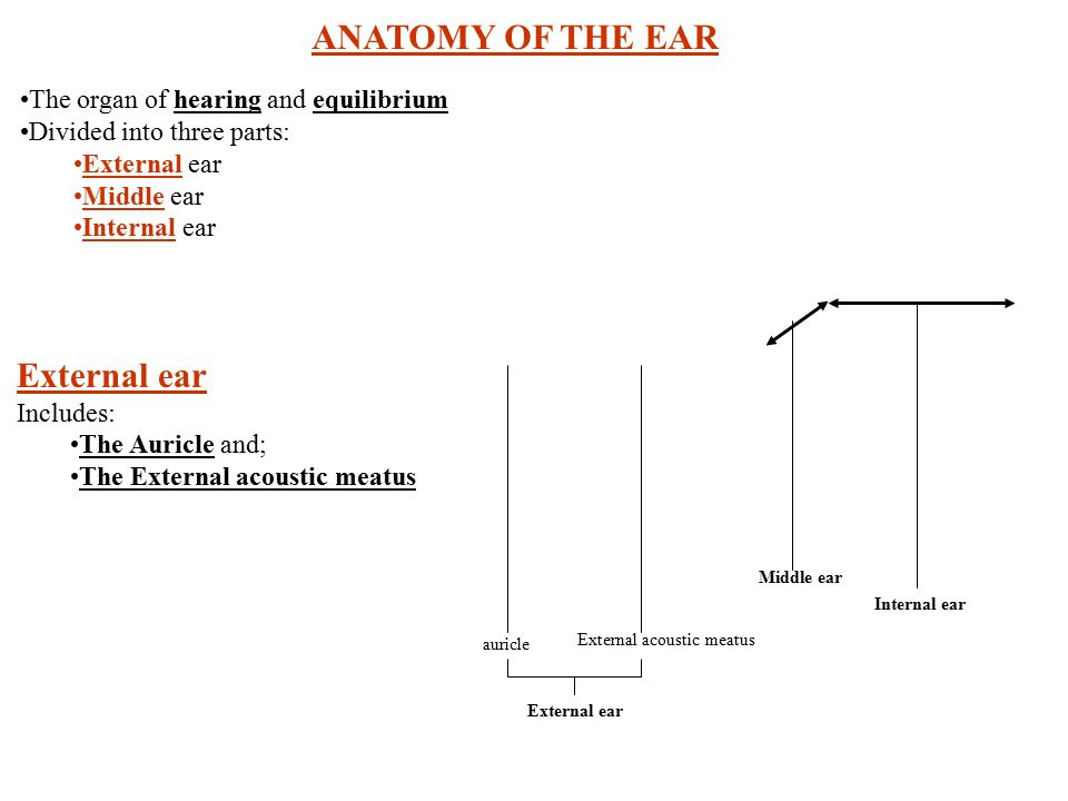 Anatomy Of The Ear The Organ Of Hearing And Equilibrium Divided Into