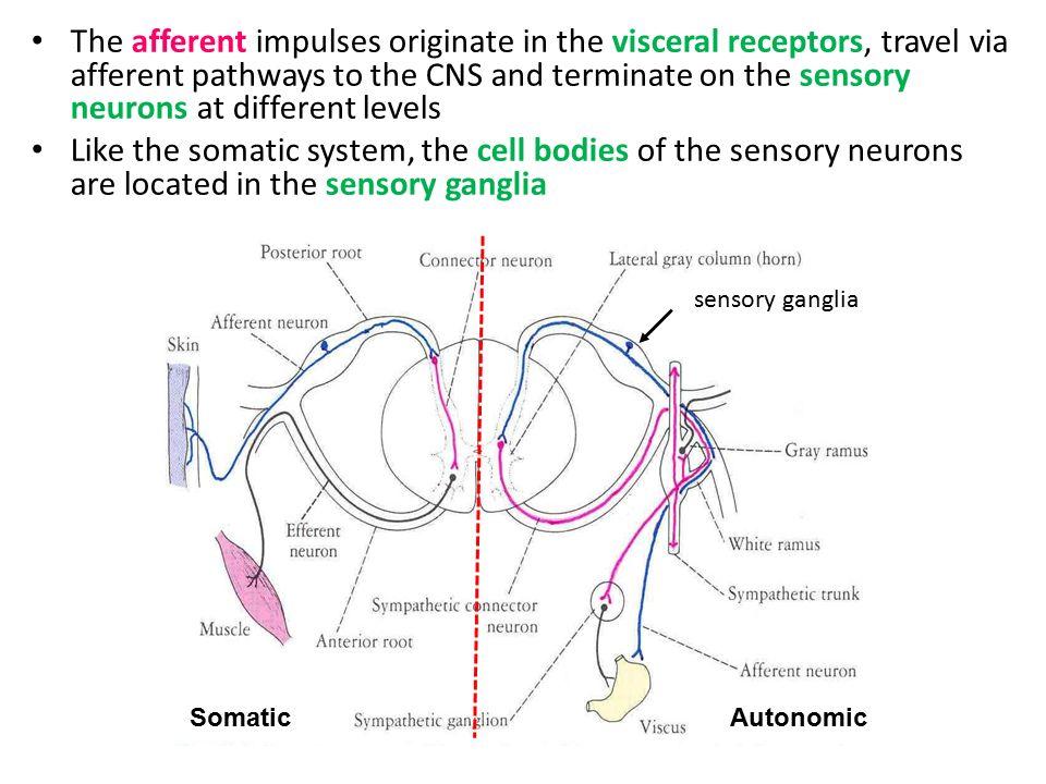 Autonomic nervous system the autonomic nervous system and visceral 4 the afferent ccuart Images