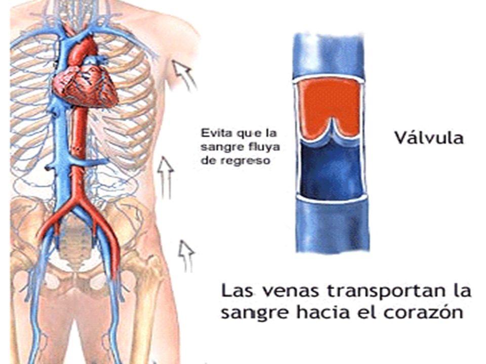 llevar sangre de regreso a las venas del corazón