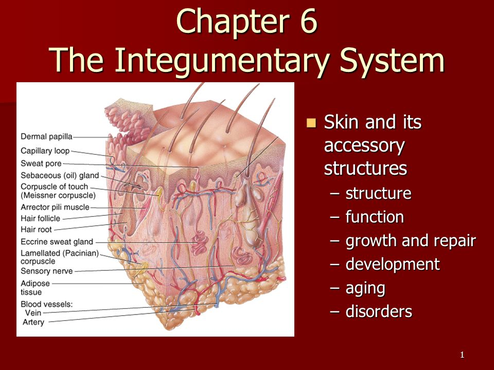 1 Chapter 6 The Integumentary System Skin And Its Accessory