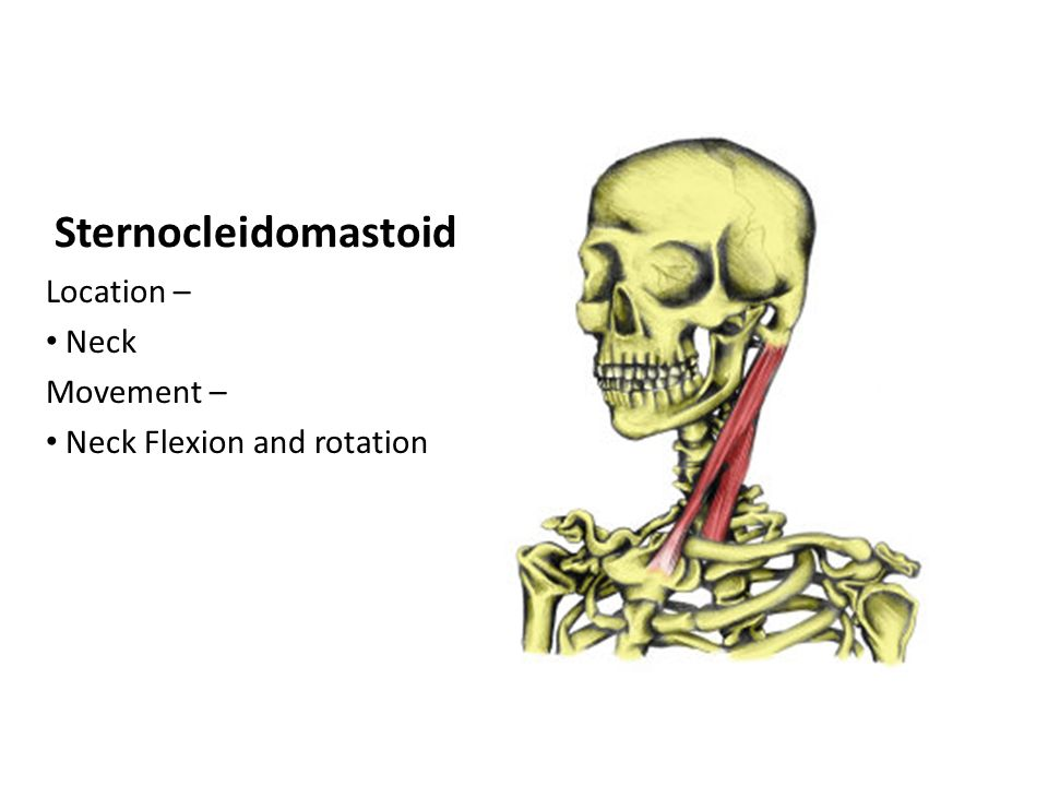Muscle Monday Sternocleidomastoid Location Neck Movement Neck