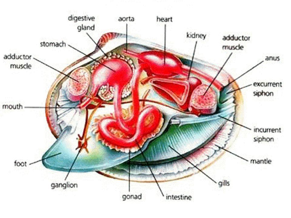 Clam Body Diagram - Schematic Diagrams