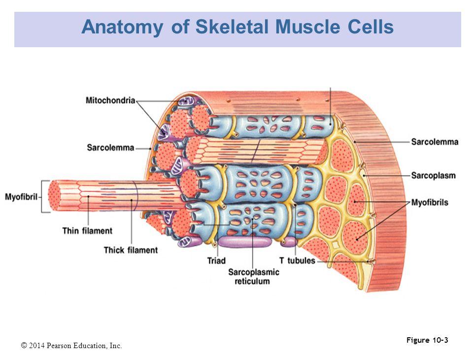 2014 Pearson Education, Inc. Human Anatomy: Skeletal Muscle Tissue ...