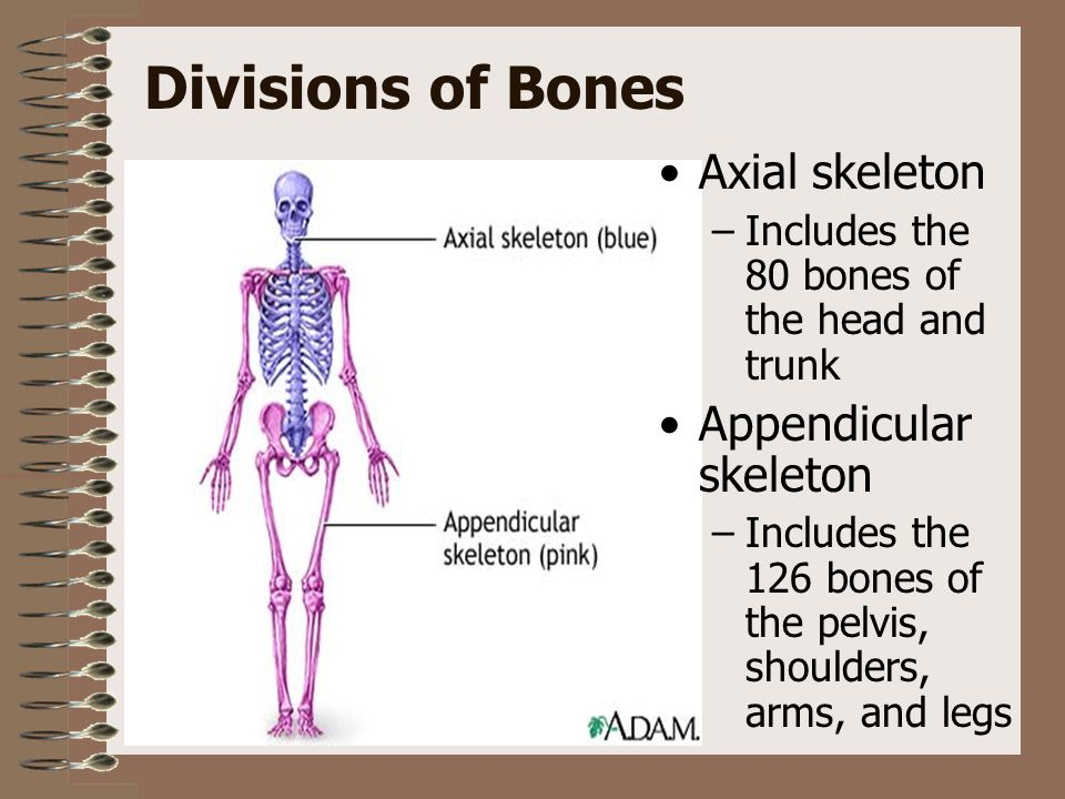 CHAPTER 13 SKELETAL SYSTEM. Structure and Function Functions of the ...