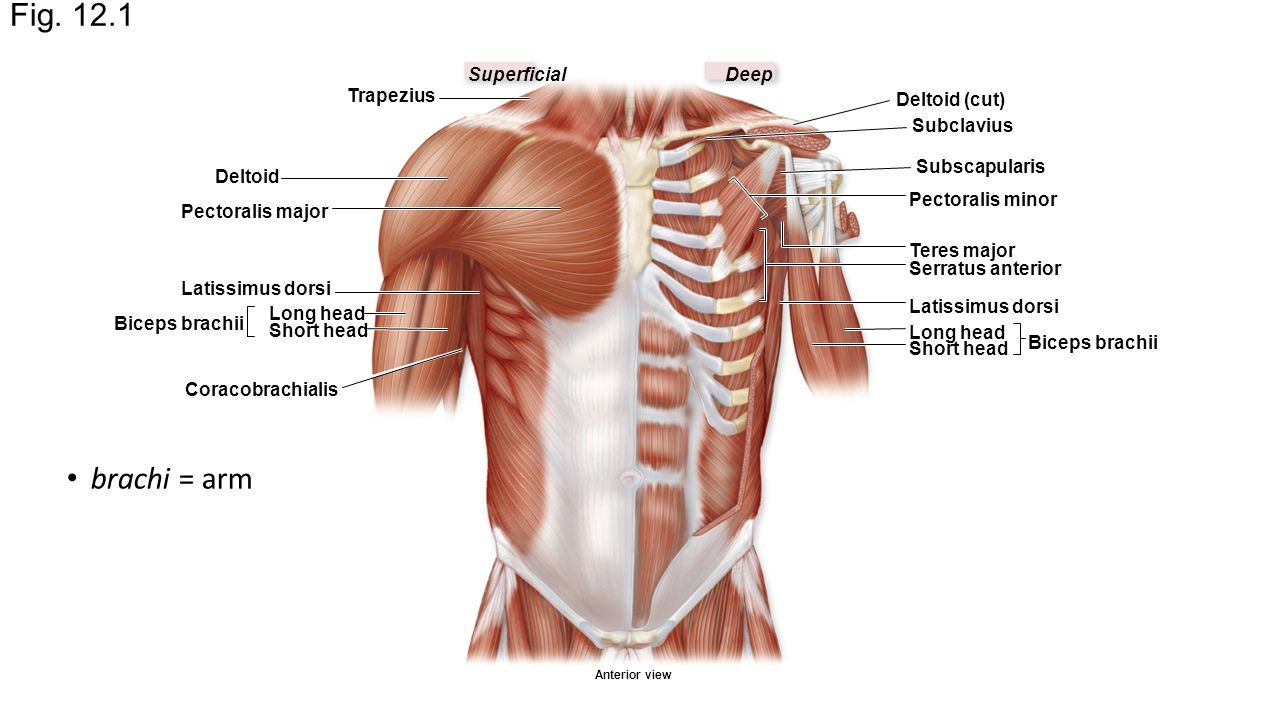 Chapter 12, Part 1 Appendicular Muscles Arms. Fig DeepSuperficial ...