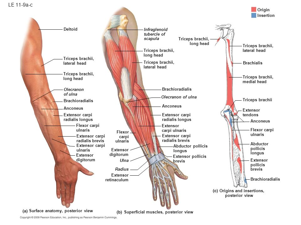 Le 11 1 Biceps Brachii Torque And Movement Brachioradialis