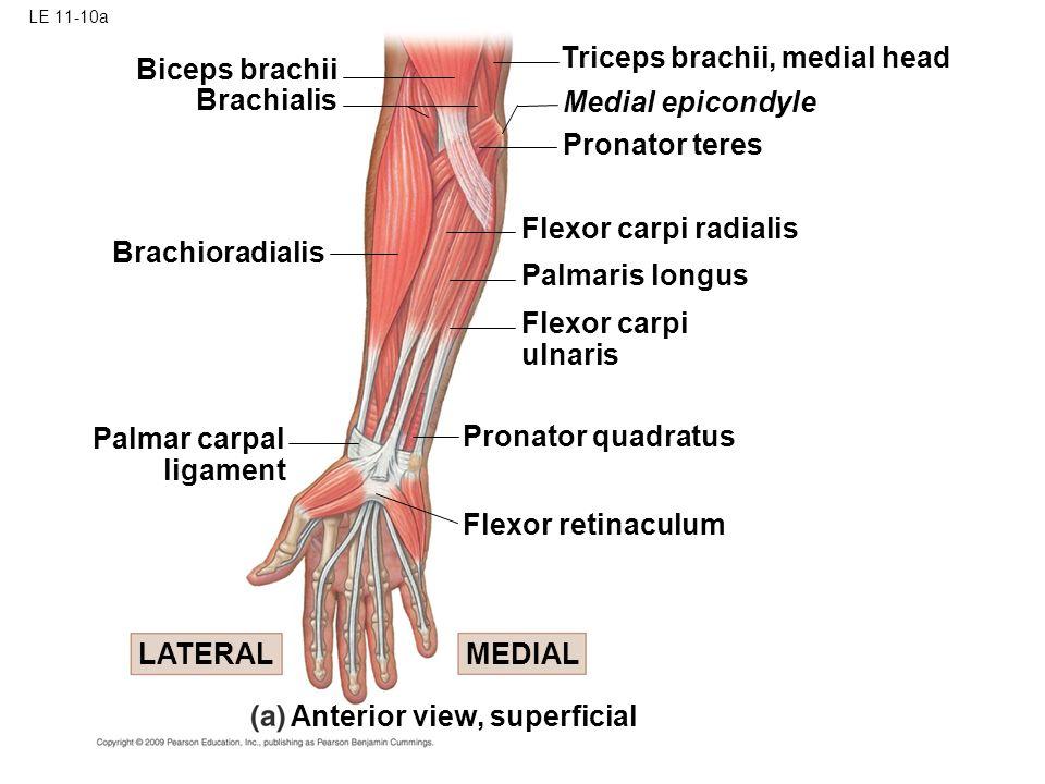 Le 11 1 Biceps Brachii Torque And Movement Brachioradialis