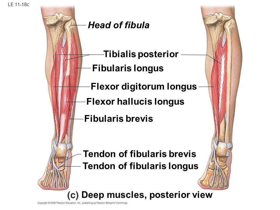 fibularis longus and brevis