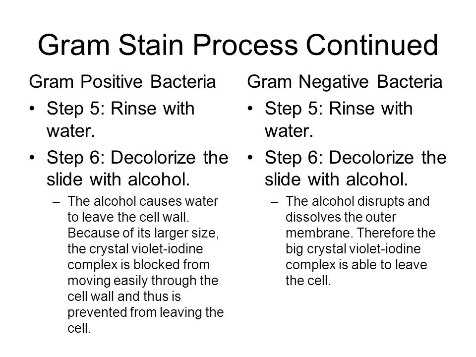 Gram stain 2013 project lead the way incinciples of biomedical 7 gram ccuart