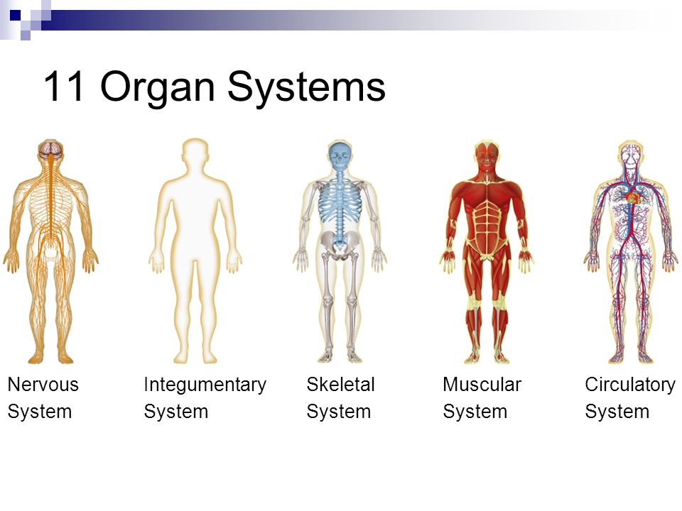 Organ Systems Objective 1 2 Levels Of Organization Every Organ