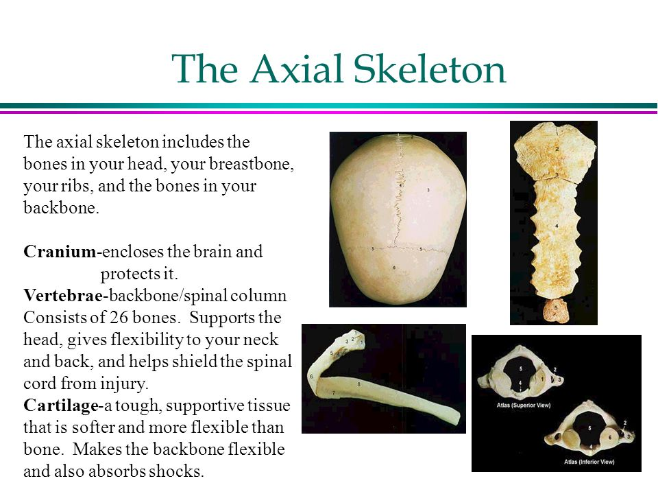 Your Skeletal System The Skeletal System Has Two Main Functions