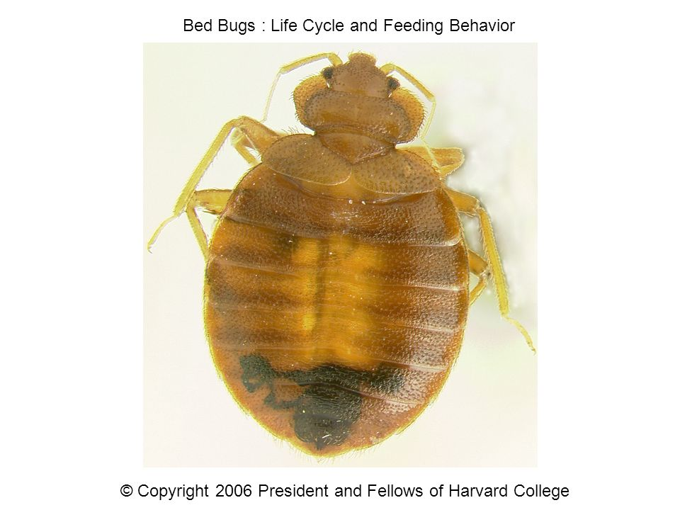 Bed Bugs Life Cycle And Feeding Behavior C Copyright 2006