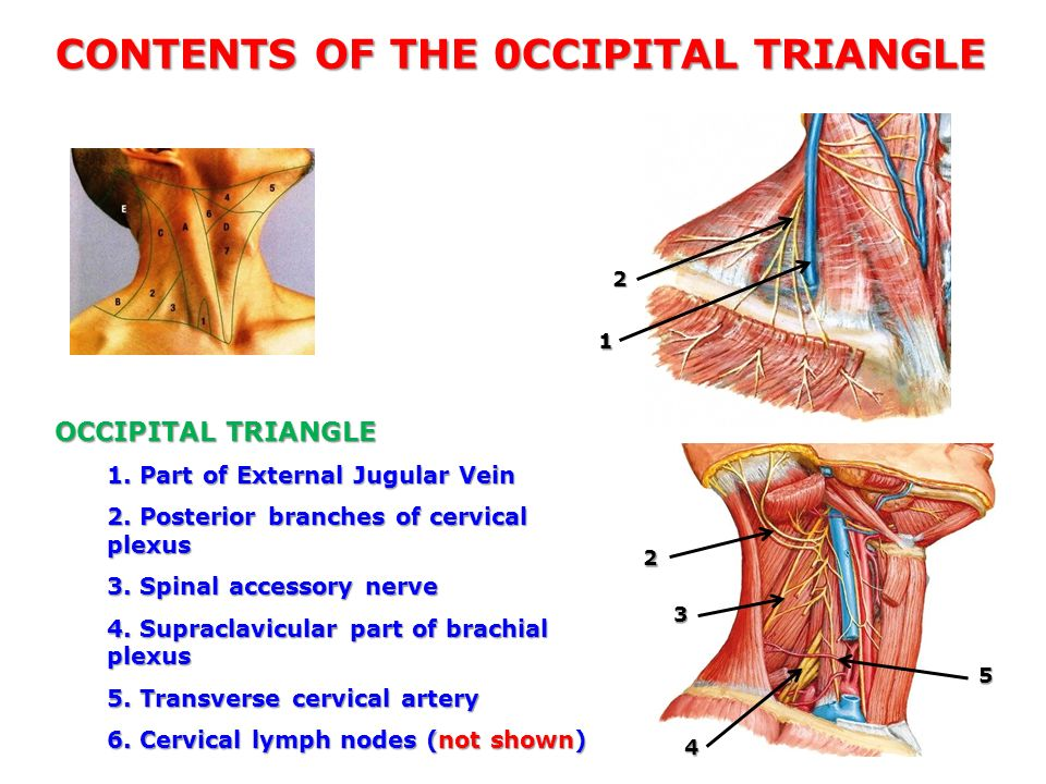 Triangles Of The Neck Khalid M Khan Department Of Anatomy Kuwait