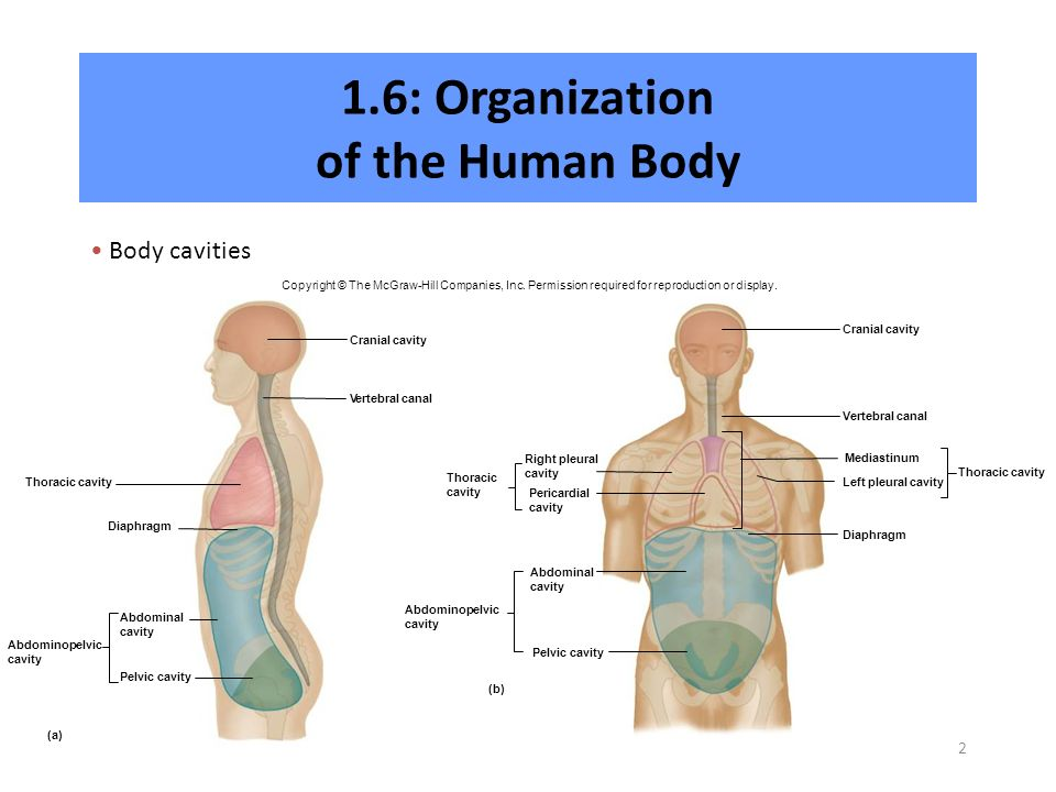 organization of the human body A human body consists of trillions of cells organized in a way that maintains distinct internal compartments these compartments keep body cells separated from external environmental threats and keep the cells moist and nourished.