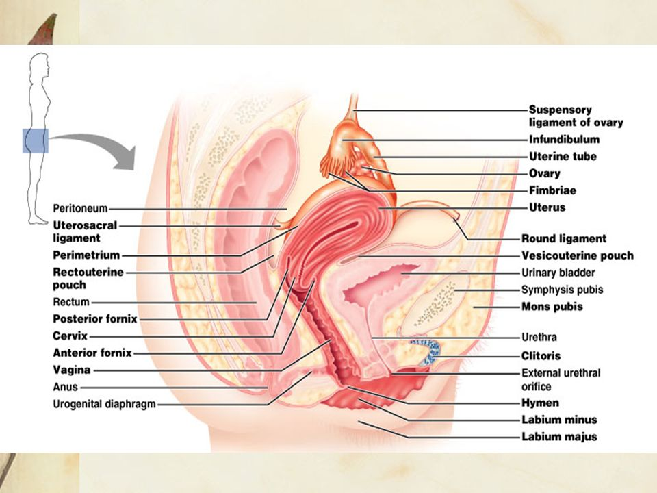 Female reproductive tract Bongkot Chakornbandit, MD. OB-GYN, HPC 10 ...