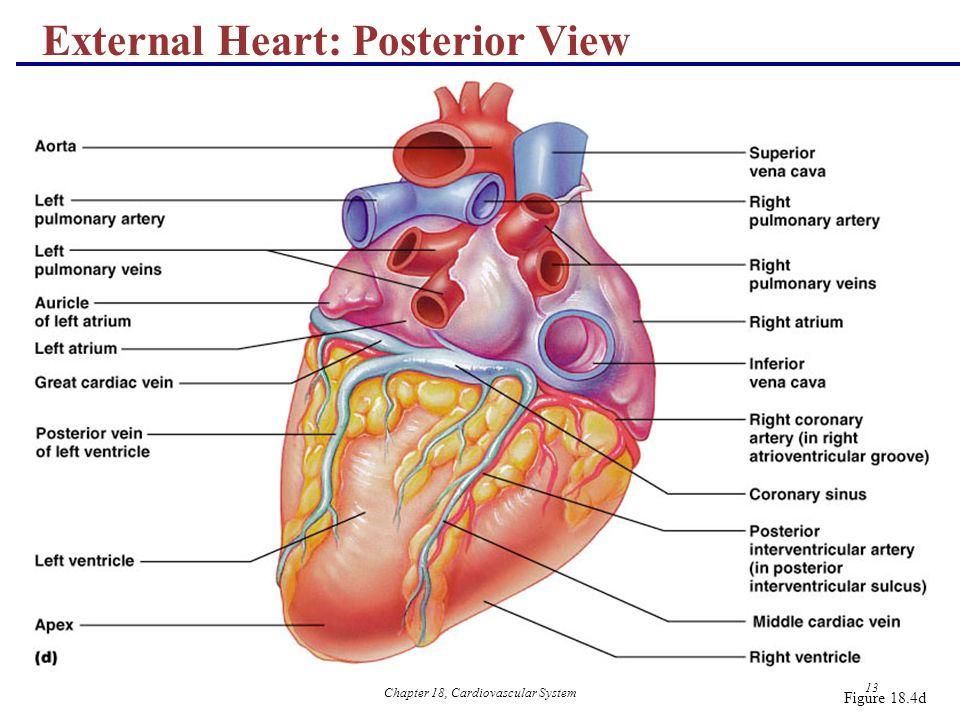 Chapter 18, Cardiovascular System 1 18 The Cardiovascular System ...