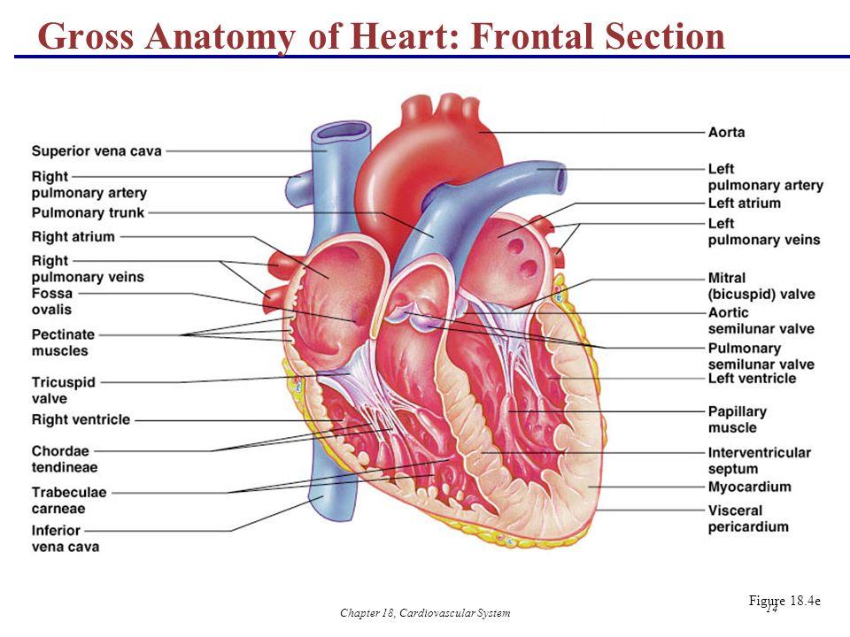 Chapter 18 Cardiovascular System 1 18 The Cardiovascular System