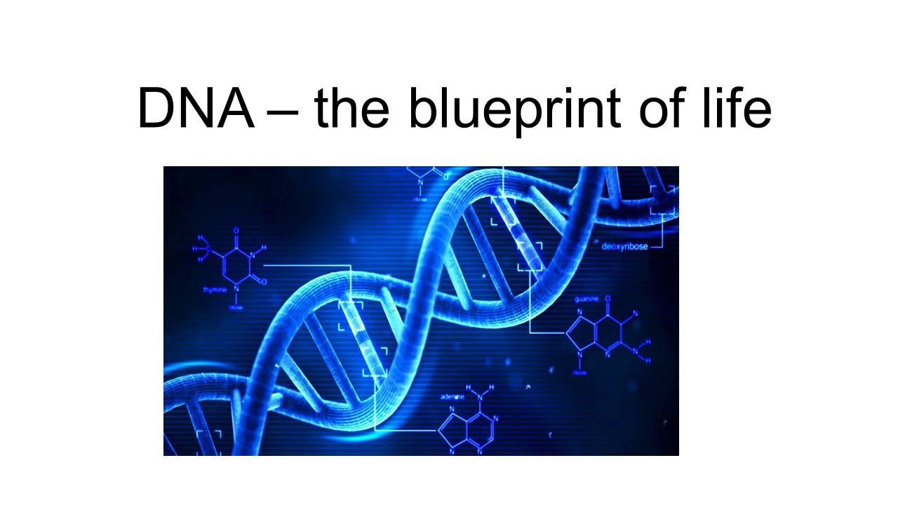 Dna the blueprint of life the real deal dna stands for 1 dna the blueprint of life malvernweather