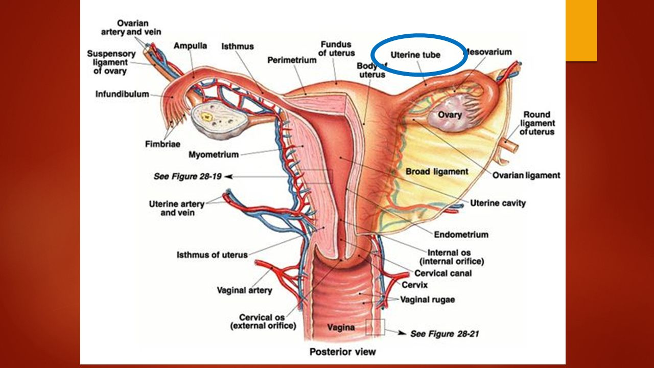 female reproductive system. structure/function the female