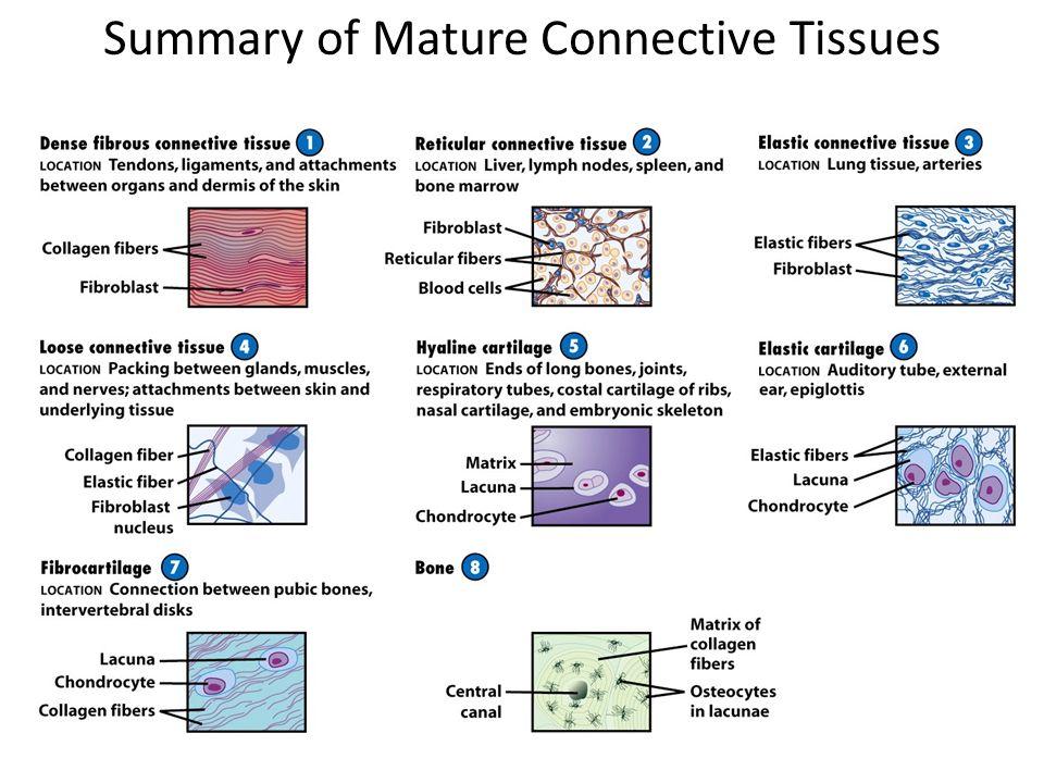 Embryonic connective tissue versus mature connective tissue