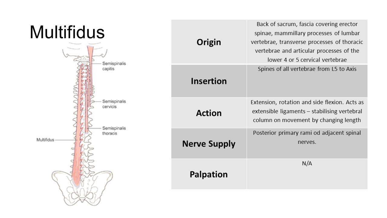 Muscular Anatomy Lumbar Spine. Multifidus Origin Back of sacrum ...