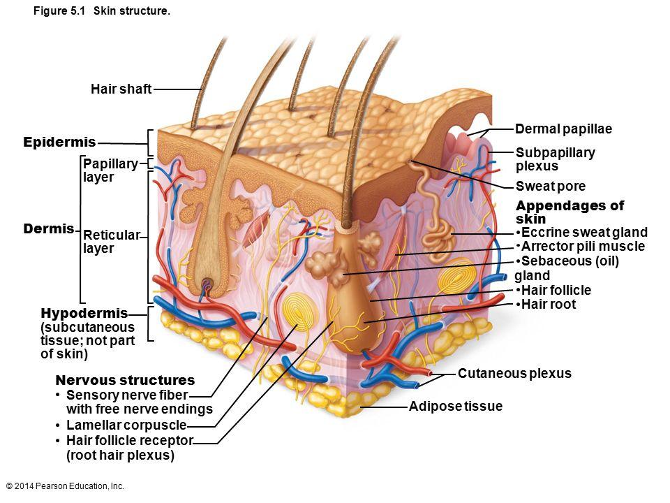 2014 Pearson Education Inc Figure 51 Skin Structure Hair Shaft