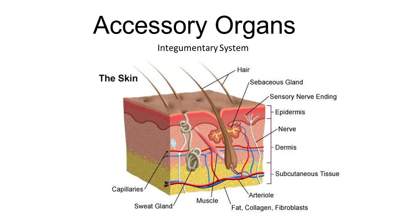 Accessory Organs Integumentary System Accessory Organs Small