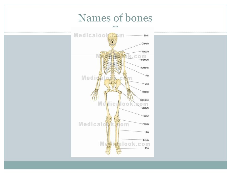 Skeletal System What Is The Job Of The Skeletal System The