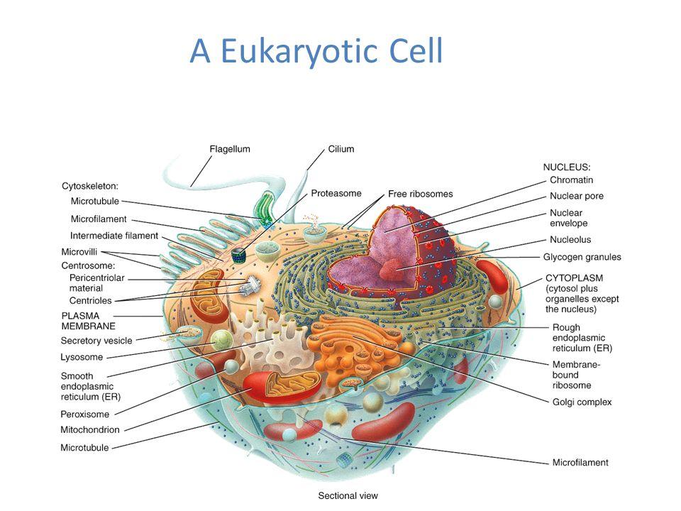 Chapter 3 The Cellular Level Of Organization Bio 137 Anatomy
