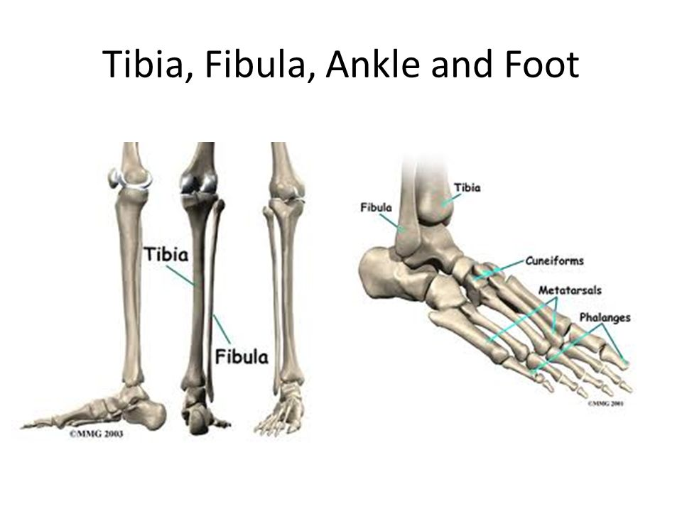 Tibia, Fibula, Ankle and Foot. Joke of the Day: Interesting Facts ...