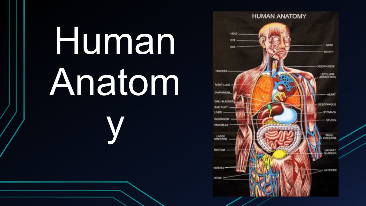 Human Anatom y. What is anatomy? Anatomy is the study of structures ...