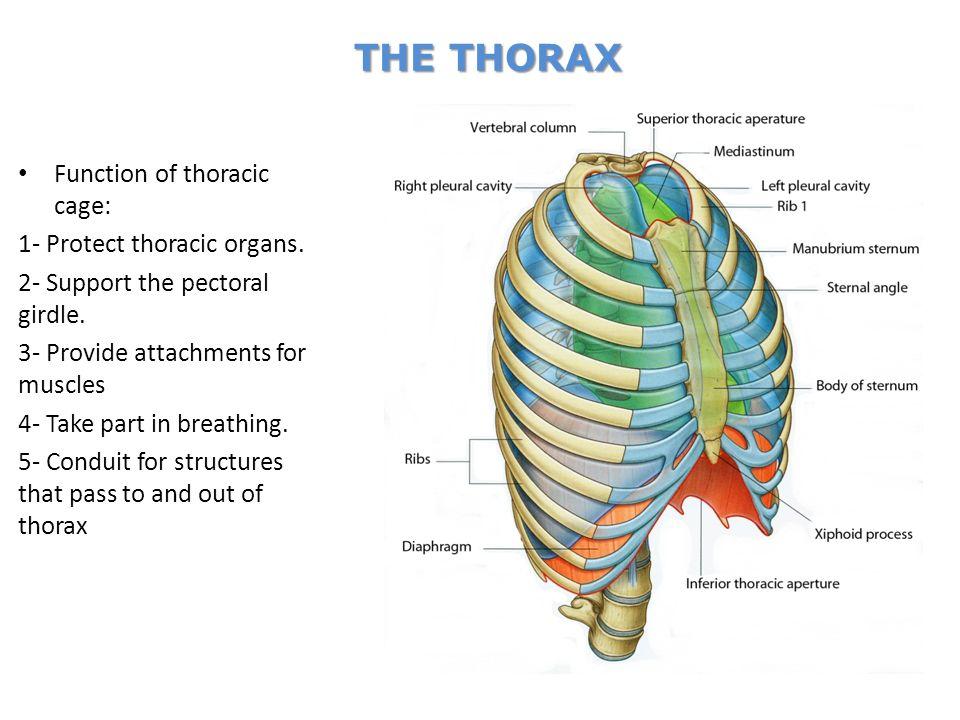 ANATOMY OF THE THORAX Dr. Heba Al-Hussaini Assistant professor ...