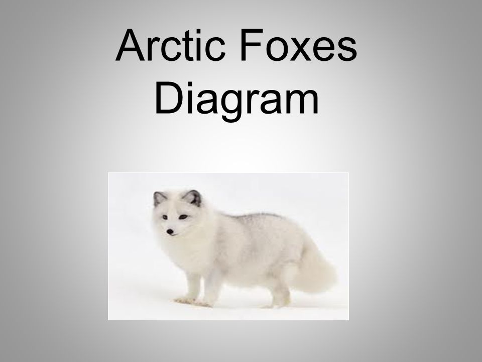 foxes by emma defrang and jenna kumasaka fox pictures arctic fox rh slideplayer com arctic fox labeled diagram arctic fox adaptations diagram