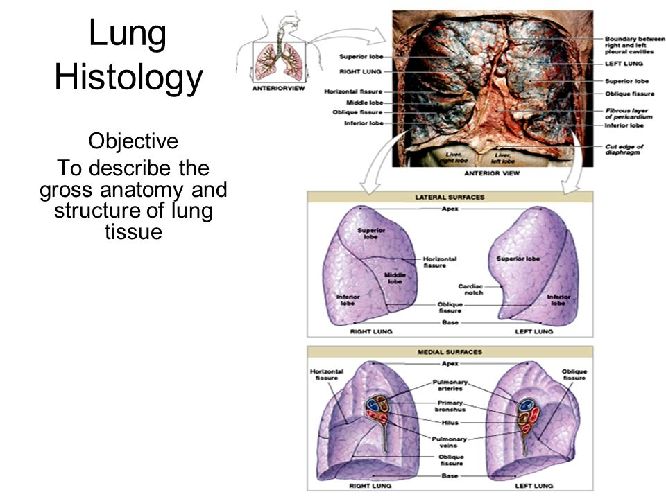 Lung Histology Objective To Describe The Gross Anatomy And Structure