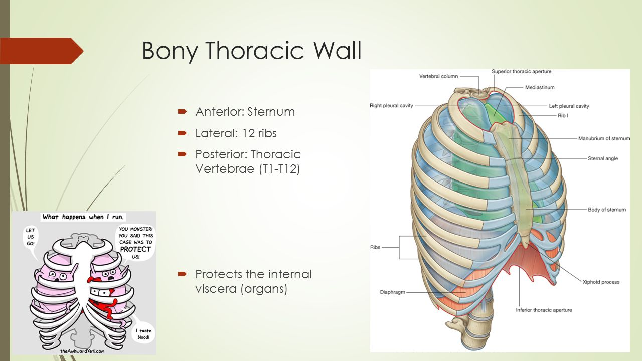 Osteology of anterior thoracic wall Beth. Learning Objectives ...