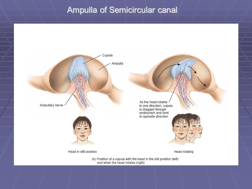 The Vestibular System. Anatomy of the ear Ampulla of Semicircular ...