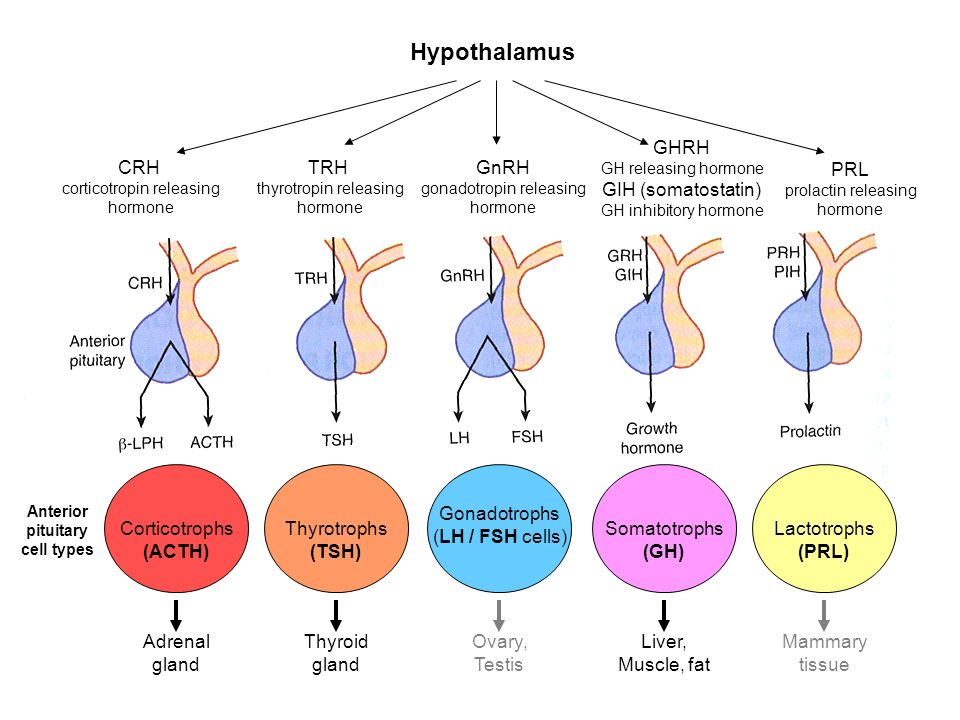 ANPS Anatomy & Physiology Endocrinology II. Hypothalamus CRH ...