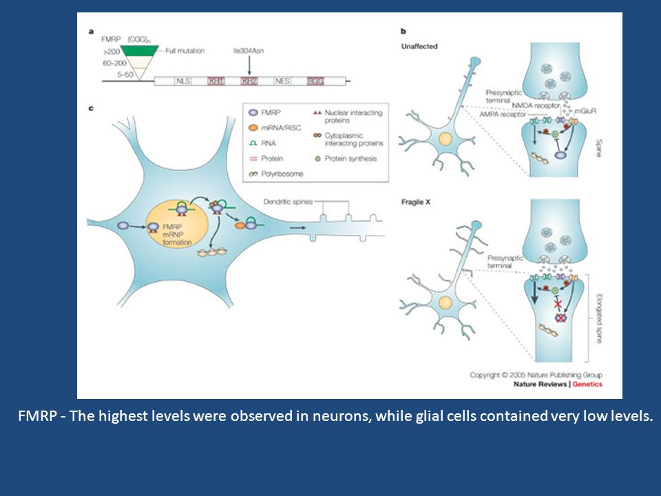 FMRP - The highest levels were observed in neurons, while glial cells contained very low levels.