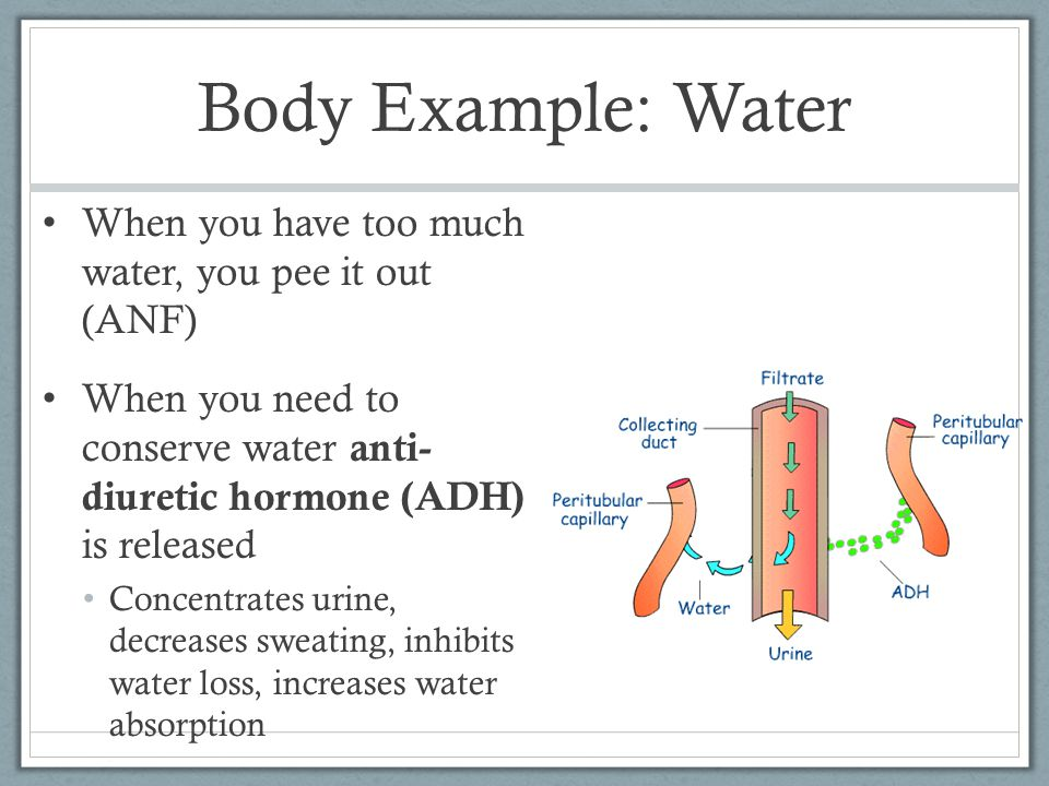Body Example: Water When you have too much water, you pee it out (ANF) When you need to conserve water anti- diuretic hormone (ADH) is released Concentrates urine, decreases sweating, inhibits water loss, increases water absorption